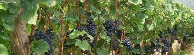 Фото - Як вкривати виноград на зиму