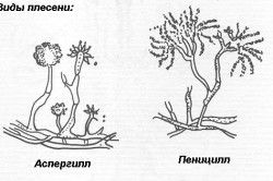 види цвілі