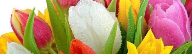 Фото - Як успішно виростити тюльпани з використанням насіння?