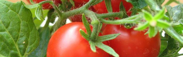 Фото - Як збільшити врожайність помідорів в теплиці?