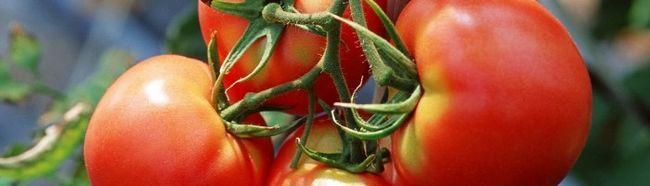 Фото - Як в теплиці формувати помідори