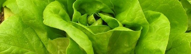 Як вирощувати листовий салат