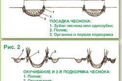 вирощування цибулі