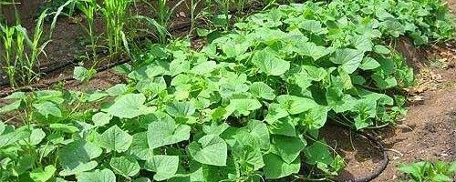 Як вирощувати на шпалерної сітки огірки