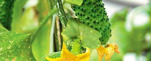 Фото - Як вирощувати огірки на ділянці