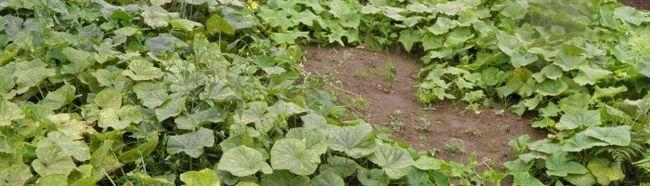 Фото - Як вирощувати огірки?