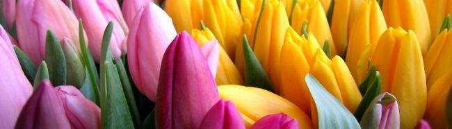 Фото - Як вирощувати тюльпани в умовах теплиці