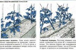 Способи підвязки томатів
