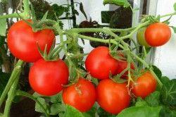 урожай томатів