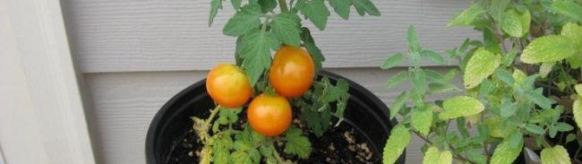 Фото - Як виростити апетитні помідори взимку?