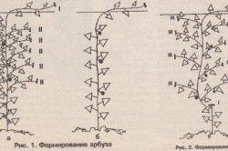 Схема формування плодів дині і кавуна