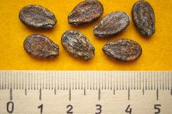 насіння кавуна