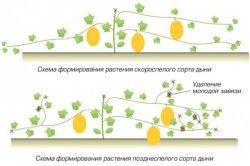 Схема формування дині