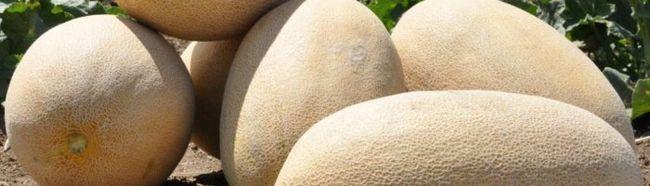 Фото - Як виростити багатий урожай динь в теплиці?