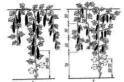 Фото - Як виростити багатий урожай: посадка огірків