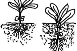 Фото - Як виростити багатий урожай буряка