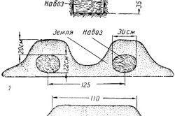 Схема вирощування кавунів в грунті.