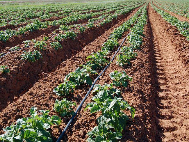 Фото - Як виростити картоплю по мітлайдера