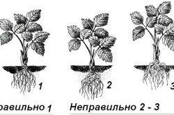 Схема вирощування полуниці