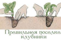 Схема правильної посадки кущів полуниці в землю