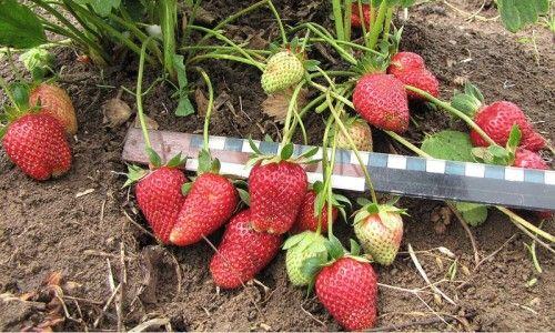 Плоди полуниці