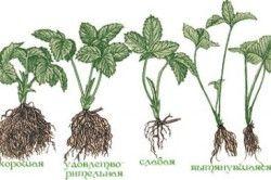 Визначаємо якість розсади для вирощування полуниці