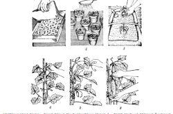 Схема вирощування огірків.