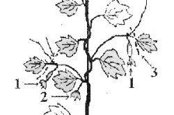 Схема пасинкування огірків