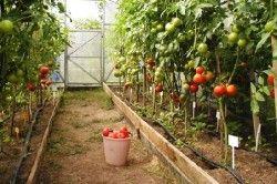 томати в теплиці