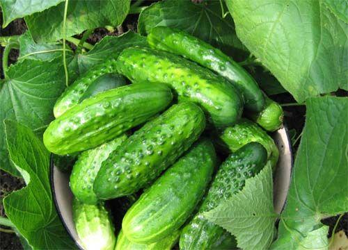 Фото - Як виростити пізні огірки?
