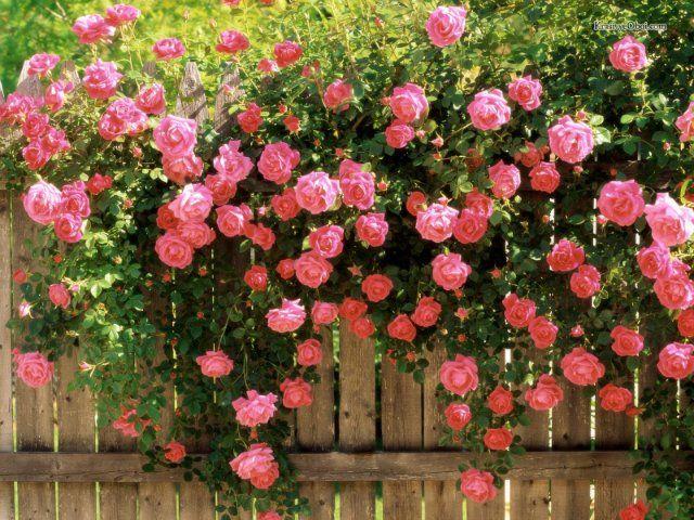 Фото - Як виростити троянди на дачі