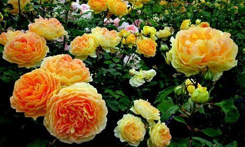 Фото - Як виростити троянди насіннєвим способом