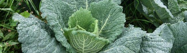 Фото - Як виростити савойскую капусту з насіння
