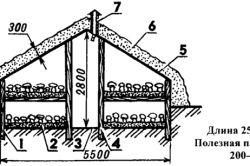 Схема розвитку плодового тіла печериць.