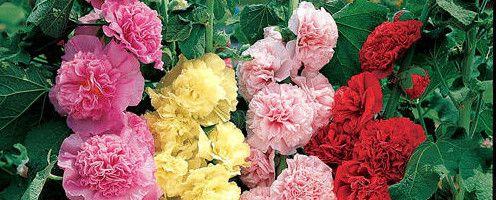Фото - Як виростити шток троянду з насіння своїми руками?