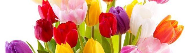Фото - Як виростити тюльпани на дачі?