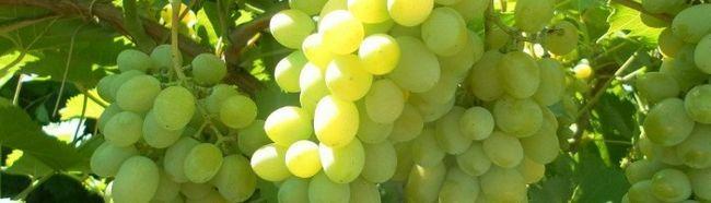 Фото - Як виростити виноград у себе вдома