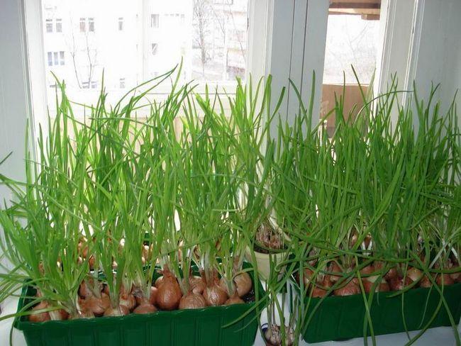 Фото - Як виростити зелений лук в будь-який час року