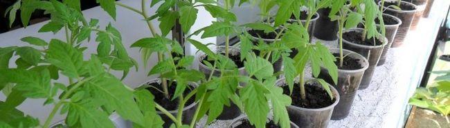 Фото - Як висаджувати розсаду помідорів в грунт