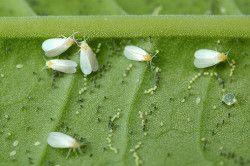 Білокрилки - родичі попелиць і ушкоджують рослини схожим чином.