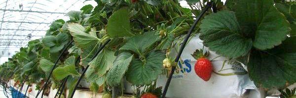 Як взимку виростити полуницю