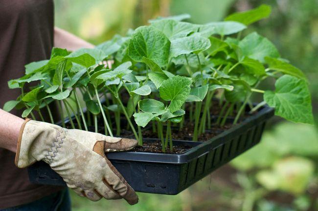 Фото - Які сорти огірків вибрати для вирощування в теплицях?