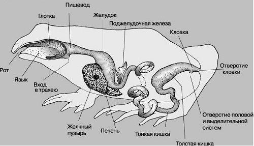 Анатомія жаби.