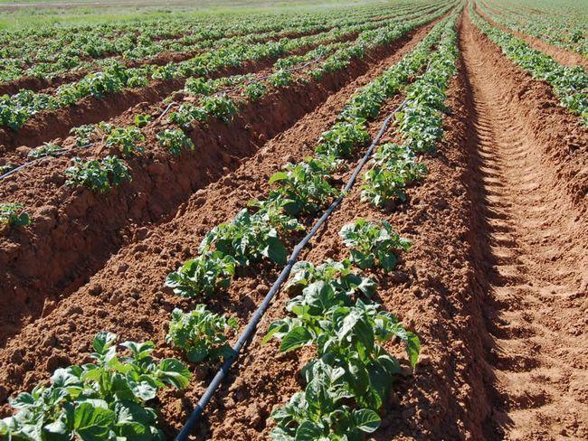 Фото - Крапельне зрошення картоплі