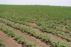 Крапельний полив картоплі