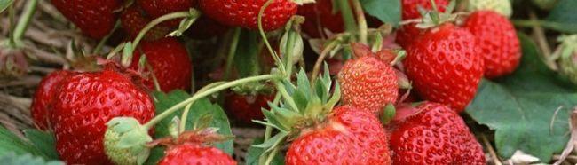 Полуниця: сорти та вирощування у відкритому грунті і теплиці