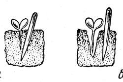 Фото - Коли і як висаджувати розсаду перцю в теплицю?