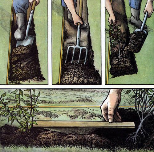 Етапи посадки листяних порід