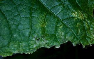 Лікування хворих огірків в теплиці