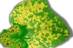 Мозаїчна хвороба огірків